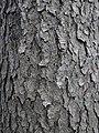 Black Cherry (Prunus serotina) Bark - Guelph, Ontario 2013-11-30.jpg