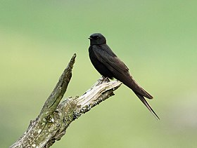 Black Saw-wing 2012 02 04 8942.jpg