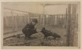 Black foxes owned by Spring Park Black Fox Company, Limited Photo F (HS85-10-26279) original.tif