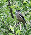 Black headed Jay I2 IMG 3198.jpg