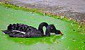 Black swan at vandalur.jpg