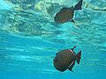 Black triggerfish.jpg