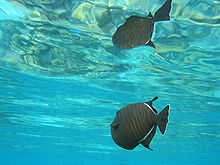 Black triggerfish.jpg