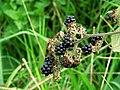 Blackberries, Corrog Wood - geograph.org.uk - 973340.jpg