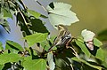 Blackburnian Warbler (37134730333).jpg