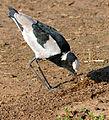 Blacksmith Lapwing (Vanellus armatus) (15949129513).jpg