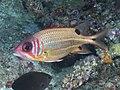 Blackspot squirrelfish (Sargocentron melanospilos) (48776886457).jpg
