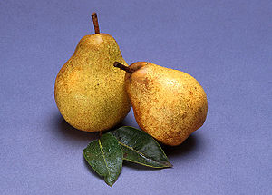 Pyrus communis - Image: Blake's Pride pears