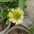 Blanket Flower (Yellow).jpg