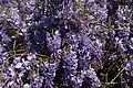 Blue-wisteria - West Virginia - ForestWander.jpg