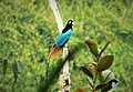 Blue Bird of Paradise Paradisaea rudolphi (48837779672).jpg