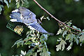 Blue Jay in Flight.jpg