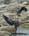 Blue heron.1.jpg