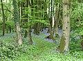 Bluebell Wood - geograph.org.uk - 165925.jpg