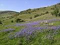 Bluebells, Bannisdale - geograph.org.uk - 441229.jpg