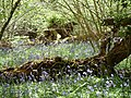 Bluebells and fallen trees - panoramio.jpg