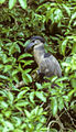Boat-billed Night Heron - Costarica (15226168430).jpg