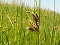 Bolboschoenus maritimus kz01.jpg