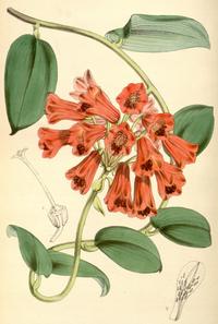 Bomarea densiflora CBM.png