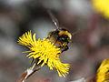 Bombus lucorum pollinating tussilago farfara 2.jpg