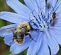 Bombus pascuorum (Common Carder Bee), Halictus tumulorum (Bronze Furrow Bee) on rhs (49388359113).jpg