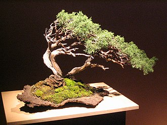 Bonsai cultivation and care - Extensive wiring can be seen on this bonsai specimen.