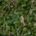 Booted Warbler (20014602322).jpg