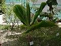 Borassus aethiopum 0001.jpg