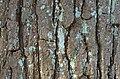 Bottlebrush Buckeye Aesculus Parviflora (32-0842-A) Trunk Bark.JPG