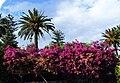 Bougainvillea-Taormina-Sicilia-Italy-Castielli CC0 HQ3.jpg