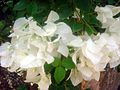 Bougainvillea flower 1.JPG