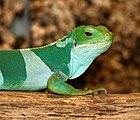Brachylophus fasciatus - Reptilium Landau.jpg