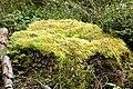Brachythecium.velutinum.2.jpg