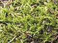 Brachythecium rutabulum 2005.07.20 17.18.03.jpg