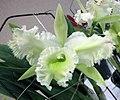 Brassocattleya Duh's White -香港沙田洋蘭展 Shatin Orchid Show, Hong Kong- (9219878057).jpg