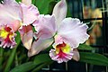 Brassolaeliocattleya George King 1zz.jpg