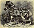 Brehms Tierleben - allgemeine Kunde des Tierreichs - mit 1800 Abbildungen im Text, 9 Karten und 180 Tafeln in Farbendruck und Holzschnitt (1891) (20227789339).jpg