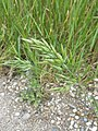 Bromus hordeaceus subsp. hordeaceus sl25.jpg