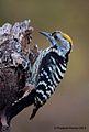Brown-fronted Woodpecker (female).jpg