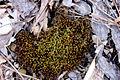 Brown Moss.JPG