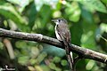 Brown breasted Flycatcher (Muscicapa muttui) (39037152792).jpg