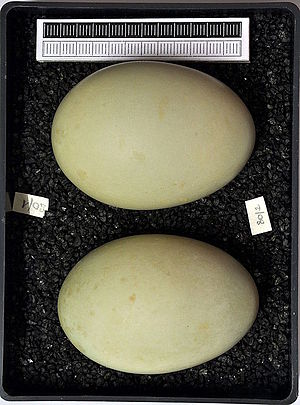 Common goldeneye - Eggs, Collection Museum Wiesbaden
