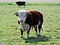 Bull (Bos taurus) (33950814286).jpg