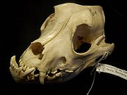 A bulldog's skull - notice the characteristic underbite (technically called mandibular prognathism)