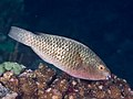 Bullethead Parrotfish (Chlorurus sordidus) (43710176872).jpg