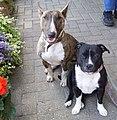 Bullterrier and staffordshirebullterrier.jpg