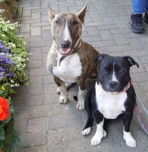Miniature Bull Terrier - Bull Terrier (left) and Staffordshire Bull Terrier