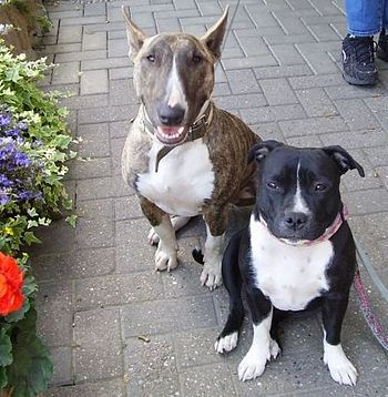 English: Bull Terrier and Staffordshire Bullte...