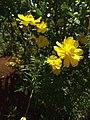 Bunga kenikir kuning.jpg