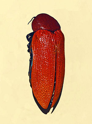 Evolutionary mismatch - The Jewel Beetle has a shiny, brown exterior similar to that of a beer bottle